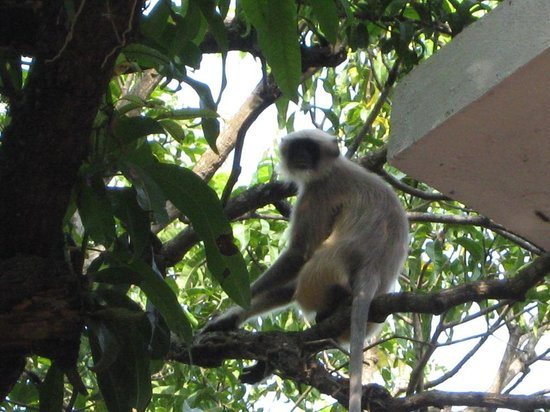 Assagao, Inde : monkey