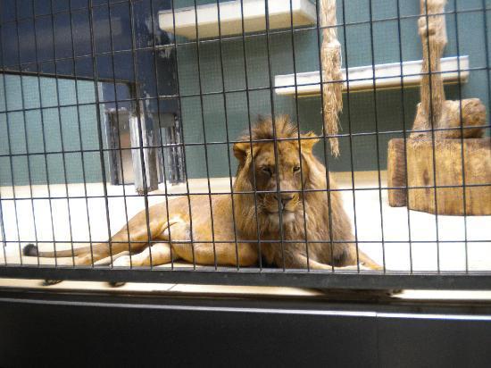 Zoologischer Garten (Berlin Zoo): Lion