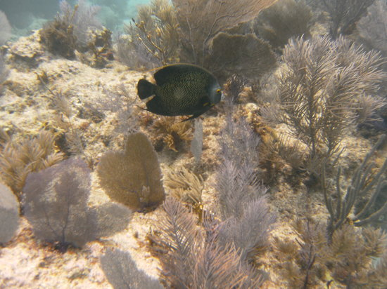 Silent World Dive Center: French Angel Fish at South Ledges