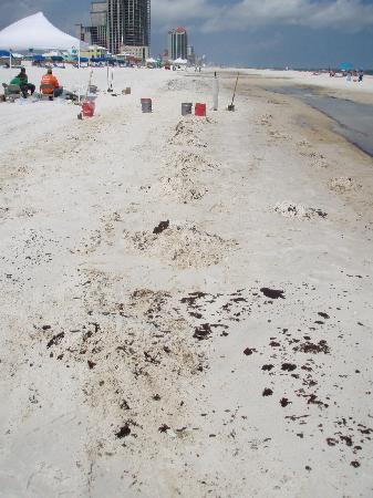 شوجار بيتش باي شوجار ساندس رياليتي: clean up crews on the beach, also tarballs in lower right