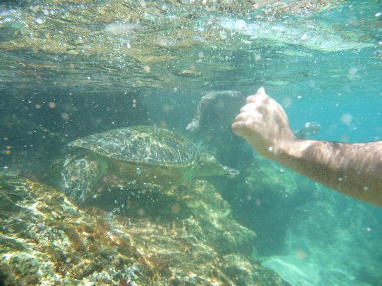 Kaanapali Ocean Inn: Marine turtle