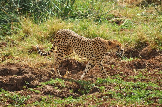 Neptune Village Beach Resort & Spa : cheetah in Tsavo west
