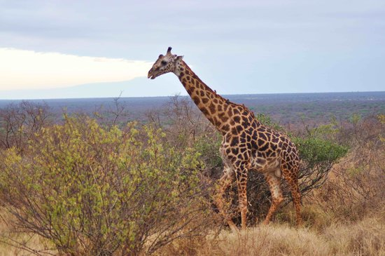 Neptune Village Beach Resort & Spa : Girafe in Tsavo west