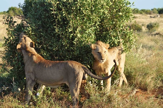 Neptune Village Beach Resort & Spa: Lions 2 meters away from us in Tsavo East