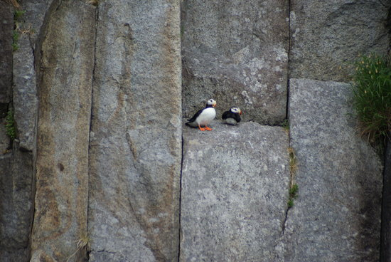 Kenai Fjords Tours: Puffins on a ledge