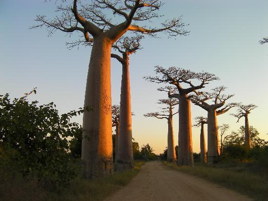 Antsirabe, Madagascar: les baobabs