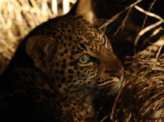 Inyati Game Lodge: The baby leopard