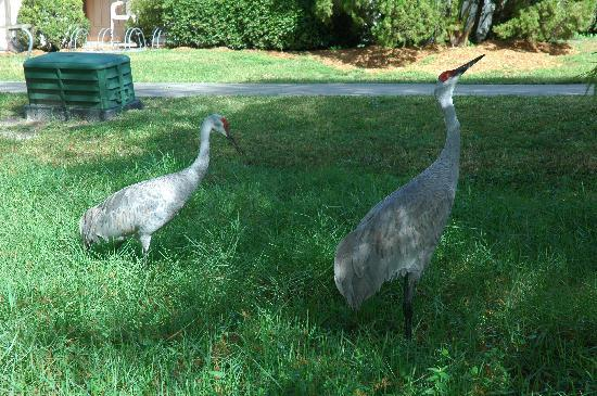 Cypress Cove Nudist Resort: Sandhill Cranes at Cypress Cove