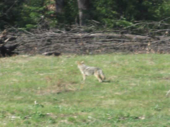 North Pines Campground: Hard to see, but a cooyote getting its breakfast in the meadow