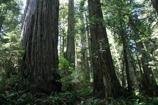 Beautiful trees - Howland Hill Road, Crescent City