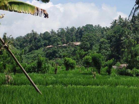 Kubu Carik Bali: Rice fields