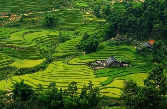 beautiful green field on mountain Sapa