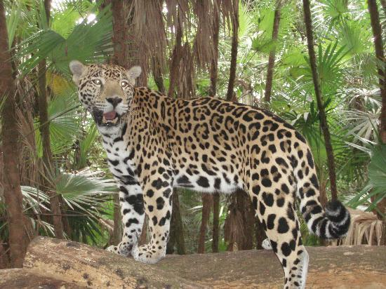 Belice: Jaguaar, Junior at the Belize Zoo