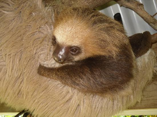 Playa Bluff Lodge : Sloth