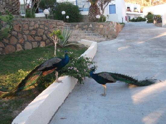 Finas Hotel Apartments: Peacocks!