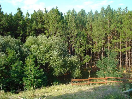 Alpa Corral: pinares