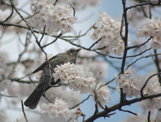 Cherry blossoms-Ueno Park,Tokyo