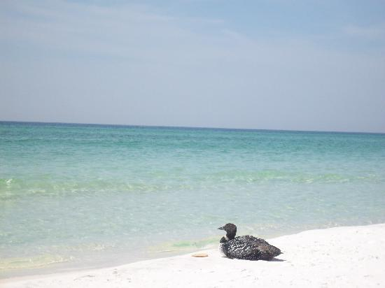 Pompano Beach, Φλόριντα: Duck on the beach