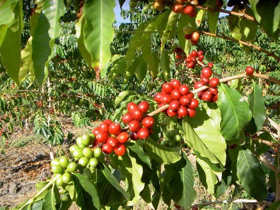 Holualoa, Havaí: Kona coffee tree with ripe coffee