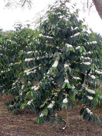 Holualoa, Hawái: Kona coffee tree blooming