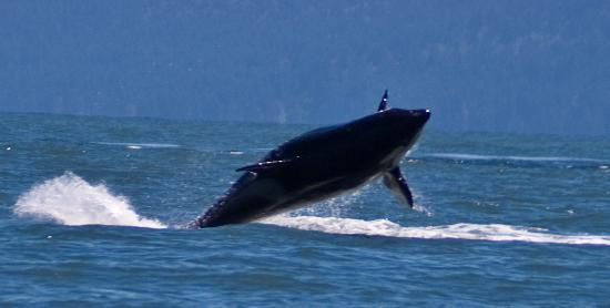 Eagle Wing Whale Watching Tours : It doesn't get better than this!