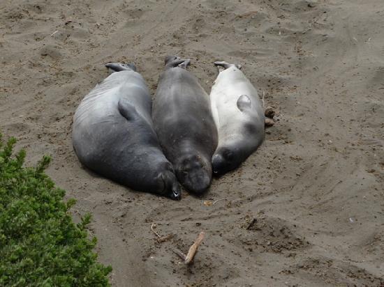 San Simeon, CA: Seal Family basking on Piedras Blancas Beach