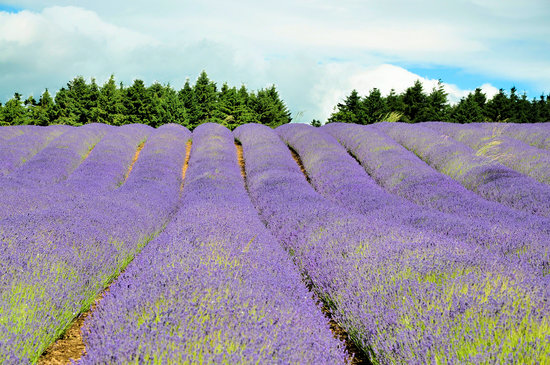 Little Compton, UK: The Snowshill Lavender Farm - an amazing place (and smell) in the summer!