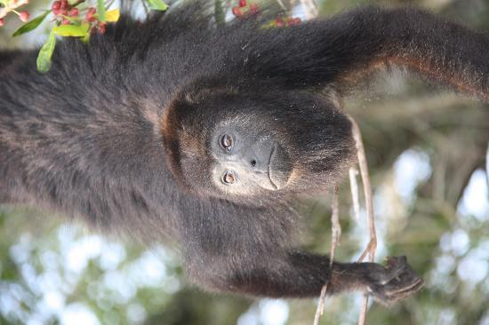 Community Baboon Sanctuary: Howler Monkey