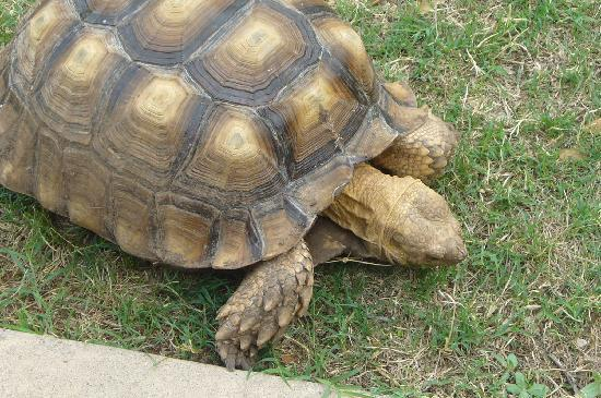 San Angelo, Teksas: Turtle On The Loose!