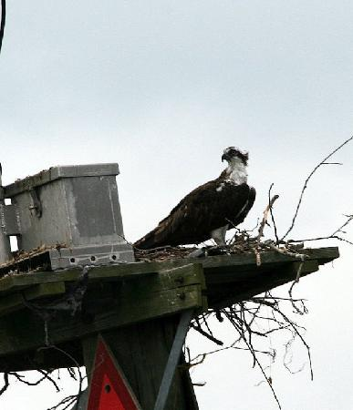 America's Paradise Resort: Ospreys out on the lake!