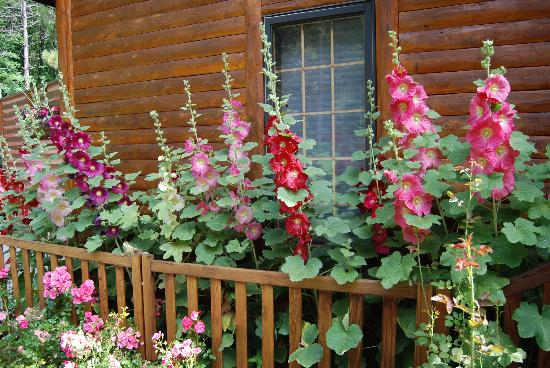 Horton Creek Inn B&B: Hollyhocks in front of the house.