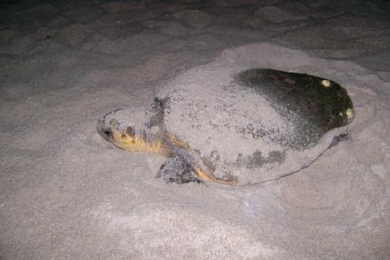 Sea View Inn: Sea turtle