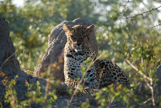 Inyati Game Lodge: Leopard