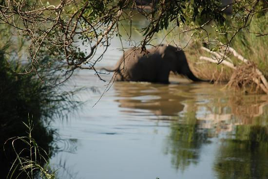 Inyati Private Game Reserve, แอฟริกาใต้: Elephant in river at Inyati