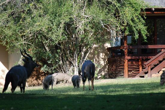 Inyati Private Game Reserve, แอฟริกาใต้: Nyala and warthogs at Inyati