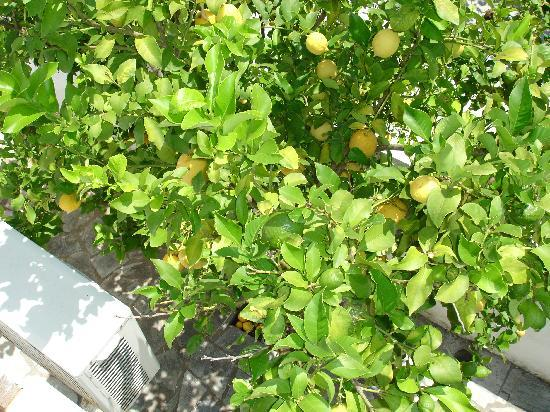 "Ageri Studios: ""our"" lemon trees"
