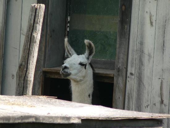 Starlight Llama Bed and Breakfast: Llama