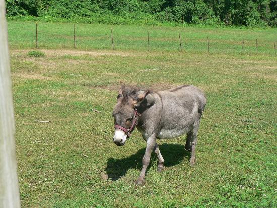 Starlight Llama Bed and Breakfast: Pedro the Donkey
