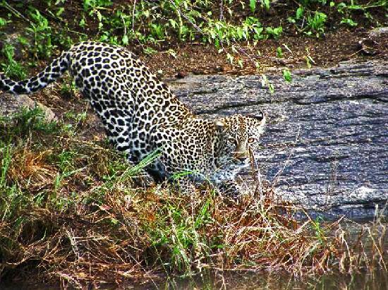 Oloshaiki Camp: Leopard