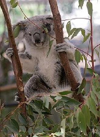 Lone Pine Koala Sanctuary: Cutee Koala