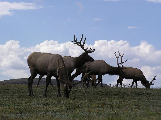 Estes Park, CO: Elk on Trail Ridge Road