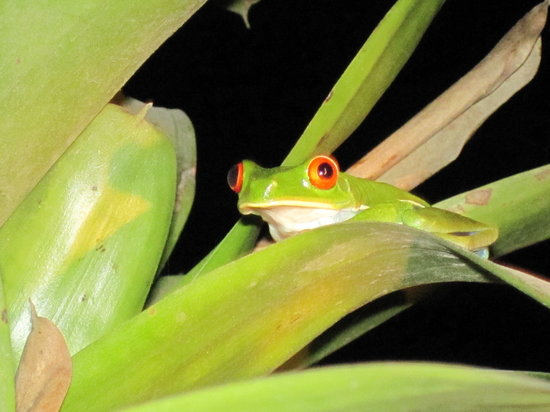 Know Costa Rica : Finding this very small red-eyed tree frog