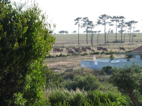 Zambujeira do Mar, Portugal: The cows in the distance, heading to the pastures