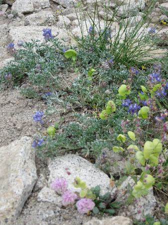 Ostrander Lake Ski Hut: Sierra Wildflowers