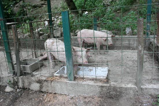 Agriturismo Il Talento Nella Quiete: Les cochons