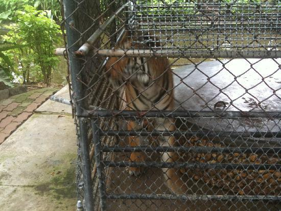 Very Small cage for very large animal - Picture of Phuket ...