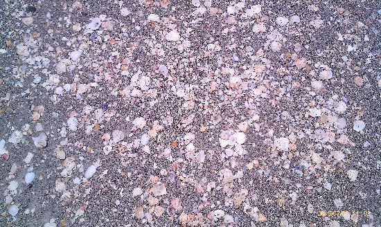 The Diplomat Condominium Beach Resort: Lots of shells