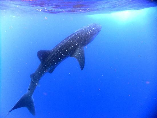 Placencia, Belize: Whale Shark Near the Surface