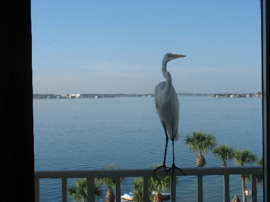 Clearwater Beach Marriott Suites on Sand Key: A visitor to our balcony
