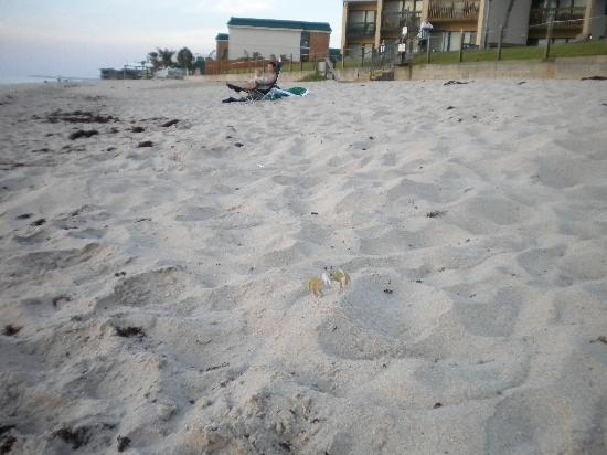 The Reef Ocean Resort: ghost crab at dawn on the beach reef units in background